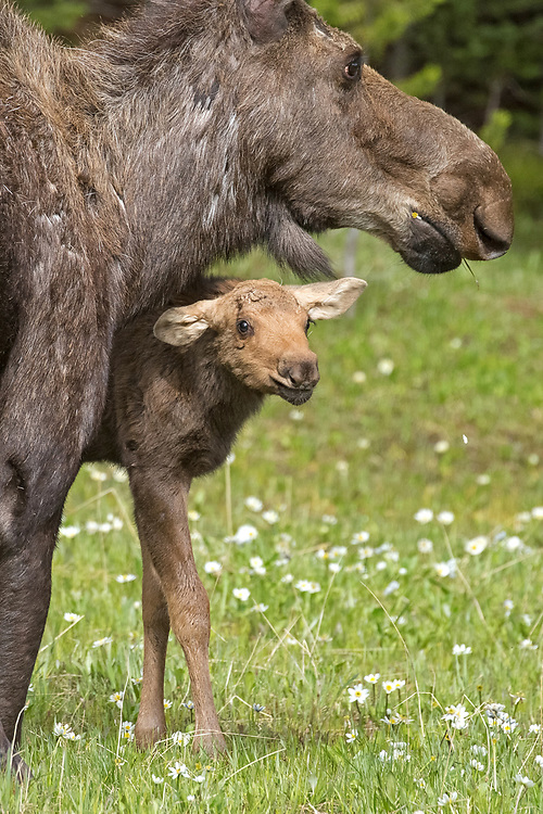 A month old moose calf stands less than two feet at the shoulder.  That makes it easy for the calf to pass under his mother while she's grazing, even when she's kneeling as this cow is doing to get closer to the forage.