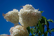 white hydrangea against Vermont blue sky