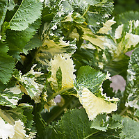Variegated Horseradish with white and green variegated leaves.  (Armoracia rusticana 'Variegata'). Full variegation doesn't occur until the plant obtains some maturity.When young they are a pale, full green.