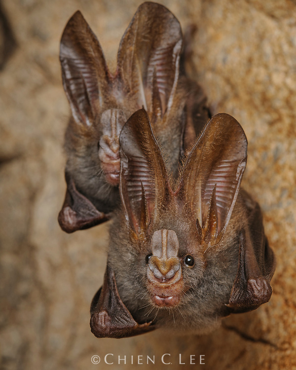 Lesser False Vampire Bat (Megaderma spasma), an insectivorous species ranging throughout Southeast Asia.