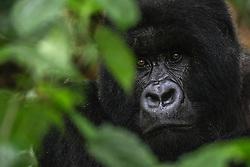 Close-up portrait of a black-backed male mountain gorilla (Gorilla beringei beringei) looking out through leaves and vegetation, Park de Volcanoes ,Rwanda