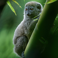 A Northern Bamboo Lemur (Hapalemur occidentalis) in the foothills of Marojejy National Park, one of at least five species of Hapalemur distributed throughout the forests of Madagascar. True to their name, these small lemurs subsist on a diet that consists largely of young bamboo leaves, a remarkable feat considering the high cyanide content found in the plant's tissues. It is still not completely understood exactly how these lemurs are able to survive on a diet so tainted with cyanide that it would kill animals much larger than themselves.