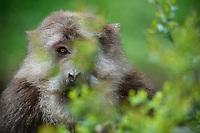 Male tibetan Macaque, Macaca thibetana, in Tangjiahe Nature Reserve, Sichuan Province; China