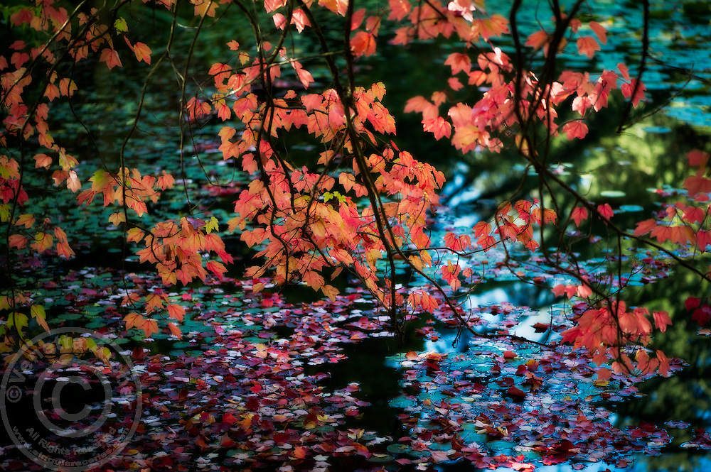 Autumn leaves over the water.