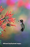 01162-09718 Ruby-throated Hummingbird (Archilochus colubris) male at Hummingbird Plant (Dicliptera suberecta) Shelby Co.  IL