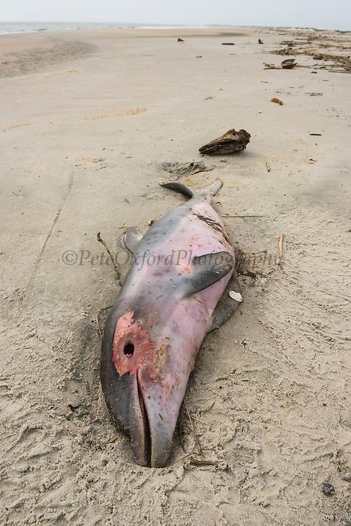 Bottlenose Dolphin (Tursiops truncatus) baby found dead and stranded on beach<br /> Little St Simon's Island, Barrier Islands, Georgia<br /> USA
