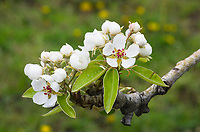 Pear blossoms, Hood River Oregon