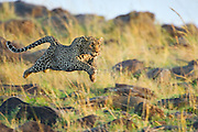 Leopard<br /> Panthera pardus<br /> Running<br /> Masai Mara Triangle, Kenya