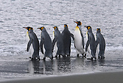 Its good to be different one peguin shows it white side while the others show their dark side. King Penguins going out to see to feed their chicks.