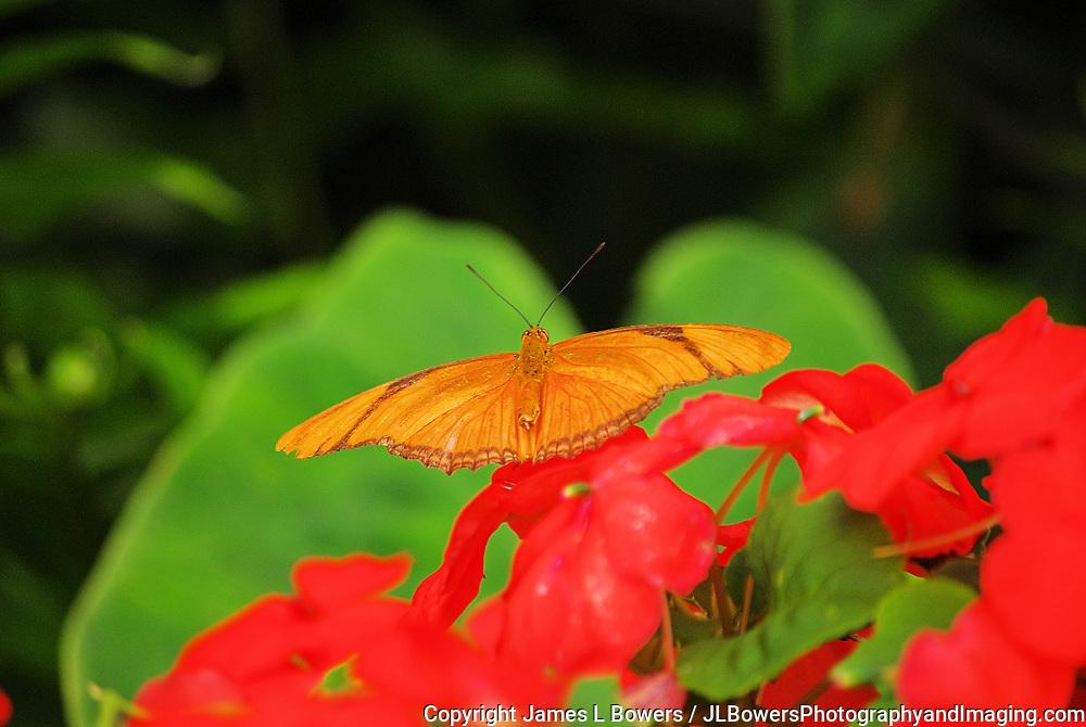 Julia (??) Butterfly