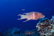 Mexican hogfish, a wrasse, Bodianus diplotaenia, intermediate phase, Galapagos Islands, Ecuador,  ( Eastern Pacific Ocean )