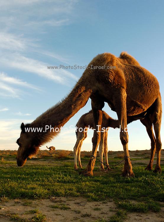 Israel, Negev Desert, a female Arabian camels (Camelus dromedarius) feeds her new born offspring