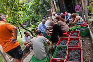 Venezia - Vendemmia all' Isola di San Michele.<br /> Venice - Grape harvest on San Michele Island.