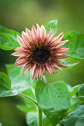 Helianthus annuus 'Double Dandy' (Sunflower)