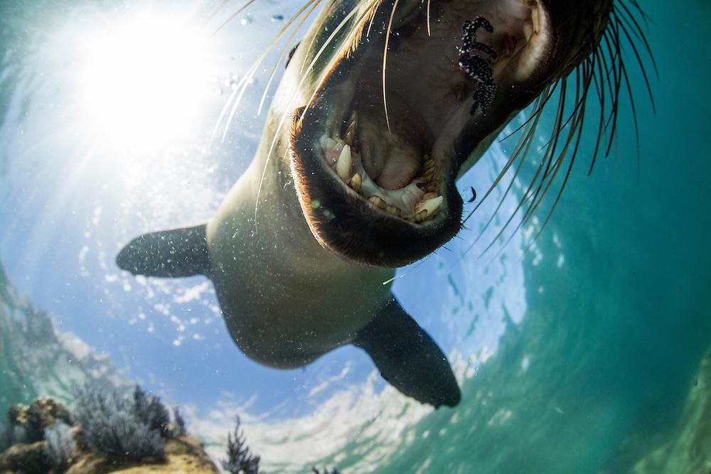 Mexico, Baja del Sur, Underwater view of California Sea Lion (Zalophus californianus) chewing on small piece of soft coral while swimming near Los Islotes in Espiritu Santo Biosphere Reserve in Sea of Cortez