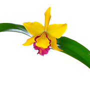 A brightly colored yellow Netrasiri Gold orchid from Thailand of the cattleya species. The orchid is shown against the waxy green leaves of the plant.