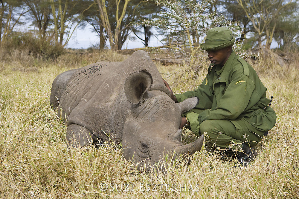 Young black rhino hand raised by humans, now being introduced to wild<br /> Lewa Conservancy
