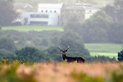 © Licensed to London News Pictures. 29/09/2013. Richmond, UK A deer stag walks in the early morning at Richmond Park on September 29th 2013 in London, England. Autumn sees the start of the 'Rutting' season where the large deer stags can be heard roaring and barking in an attempt to attract females known as bucks. The larger males can also be seen clashing antlers with rival males.. Photo credit : Stephen Simpson/LNP
