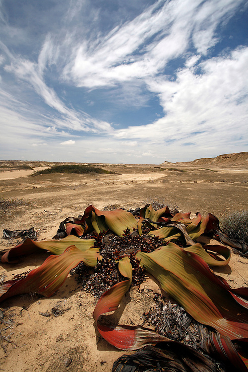 The unique Welwitschia Mirabilis to the Namibe desert can live for thousands of years. Namibe Province, Reserva De Namibe, Southern Angola, Africa..© Zute and Demelza Lightfoot.www.lightfootphoto.com