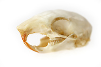 Eastern Chipmunk skull
