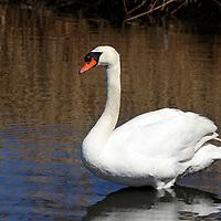 Mute Swan standing in a saltmarsh