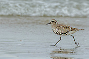 Black-bellied Plover - Pluvialis squatarola running along the beach