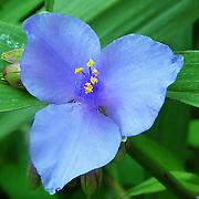 Tradescantia virginiana or Virginia spiderwort is member of the Commelinaceae family, native to the eastern United States.