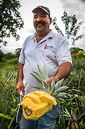 Costa Rica, February 2015. Rudolfo presents the sweetest pineapple ever. Ecotourism at Pineapple plantation Finca Sura on the Sarapiqui river. Costa Rica is bestowed with an intense array of biodiversity and environmental attractions - majestic volcanoes, misty cloud forests, stunning river valleys, and hundreds of beaches along the Pacific and Caribbean coasts. Photo by Frits Meyst / MeystPhoto.com