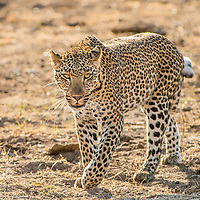 Adult male leopard hunting