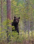 Brown bear portrait.  Eastern Finland in August 2015.