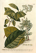 Coloured Copperplate engraving of a Ehretia branch from hortus nitidissimus by Christoph Jakob Trew (Nuremberg 1750-1792)