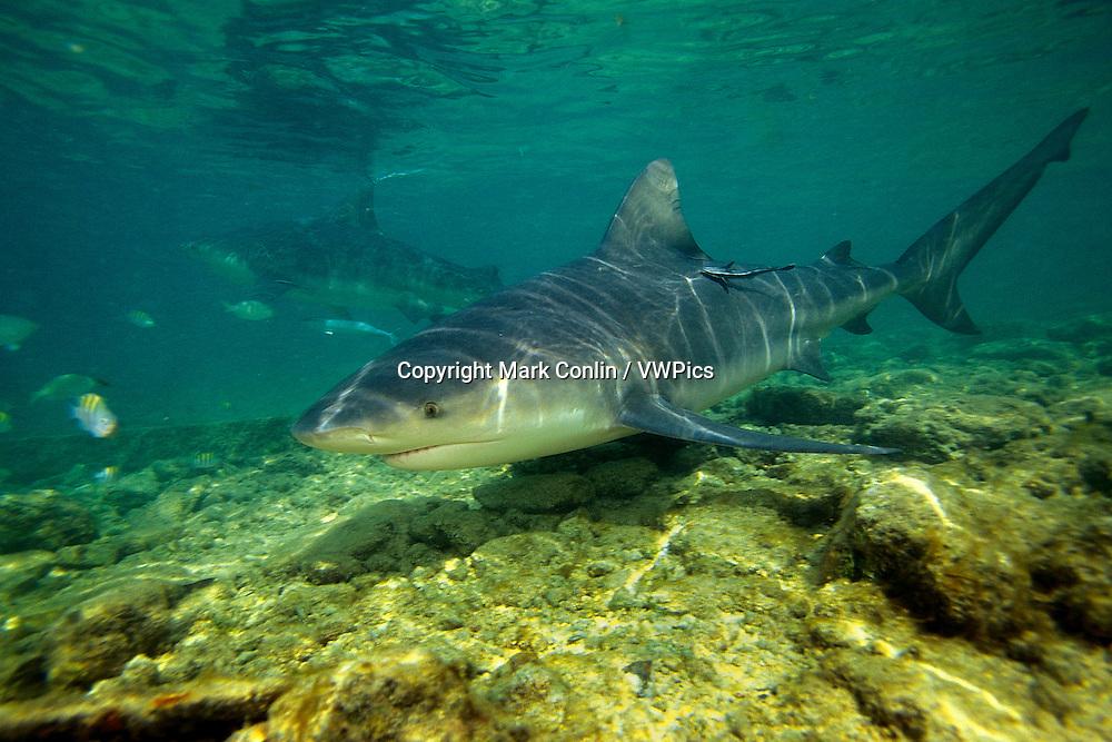 Bull shark, Carcharhinus leucas, Bahamas, Atlantic Ocean