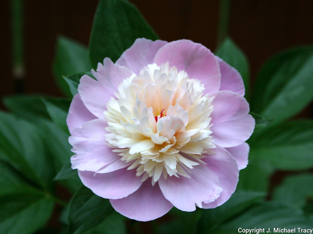 Pink Spring Peony, Bowl of Beauty Blossom and greenery.