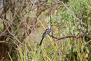 Eastern Yellow-billed Hornbill (AKA Northern Yellow-billed Hornbill) (Tockus flavirostris), on a tree Photographed in Ethiopia, Omo Valley