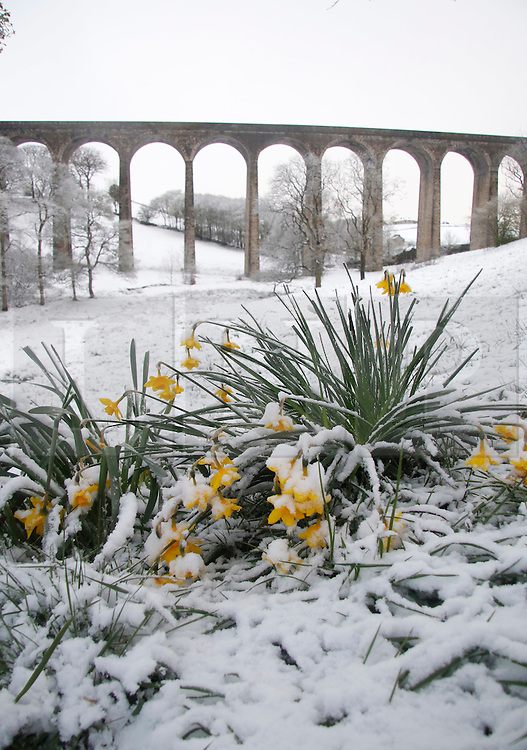 © Licensed to London News Pictures. 29/04/2016. Bradford UK.  Heavy snow covering spring daffodils in West Yorkshire, Thornton Viaduct is in the background.  Photo credit: Paul Thompson/LNP
