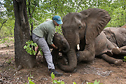 Tranquilized elephants<br />