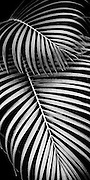 Black and white designs of Areca palm fronds