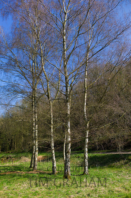 Copse of Silver Birch trees, Betula pendula, in springtime in Swinbrook in the Cotswolds, Oxfordshire, UK
