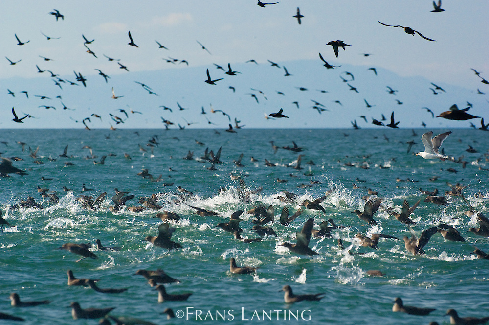 Sooty shearwaters, Puffinus griseus, Monterey Bay, California
