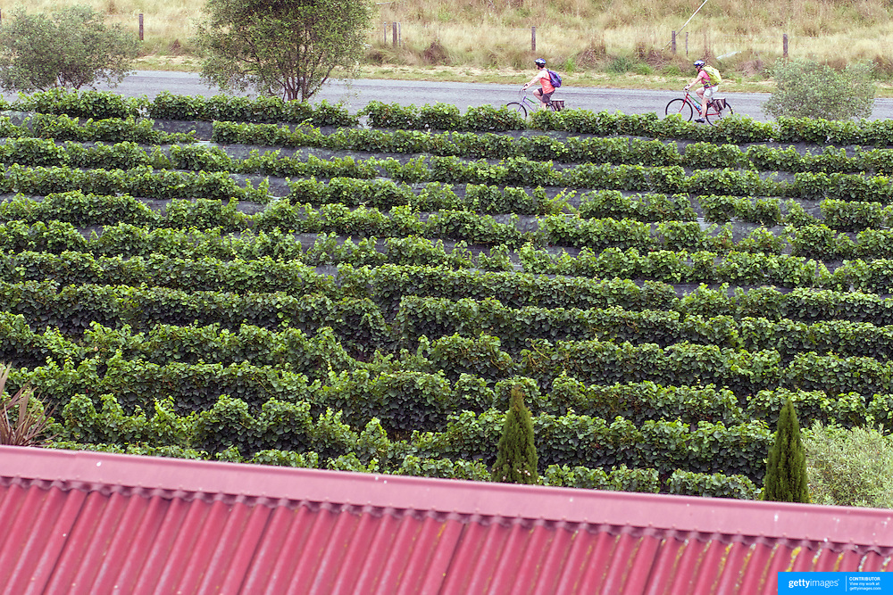 Cyclists make their way to Highfield Estate WInery,  Brookby Road, Blenheim, Marlborough, while visiting the vineyards of the Marlborough Wine Region, with Wine Tours by Bike. Marlborough has over 40 wineries within a 10km radius of Blenheim. Marlborough, South Island, New Zealand...The Marlborough wine region is New Zealand's largest wine producer. The Marlborough wine region has earned a global reputation for viticultural excellence since the 1970s. It has an enviable international reputation for producing the best Sauvignon Blanc in the world. It also makes very good Chardonnay and Riesling and is fast developing a reputation for high quality Pinot Noir. Of the region's ten thousand hectares of grapes (almost half the national crop) one third are planted in Sauvignon Blanc. Marlborough, New Zealand, 12th February 2011. Photo Tim Clayton