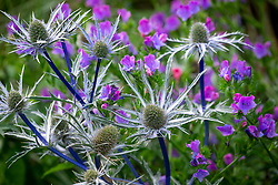Eryngium x zabelii 'Violet' - Sea holly - with Echium vulgare 'Blue Bedder' AGM. Viper's bugloss