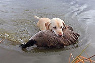 A Yellow Labrador Retriever brings back a Canada goose during a Manitoba hunt.