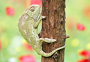 Common Chameleon (Chamaeleo chamaeleon) climbs a tree. The common chameleon and its subspecies are found throughout much of North Africa and the Middle East as well as southern parts of Mediterranean Europe. Photographed in  Israel in March