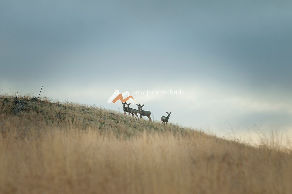 Deer on the horizon at sunrise. Fairfield, Idaho.