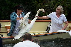 © Licensed to London News Pictures. 20/07/2015. Two women attempt to catch a swan. Swan Upping takes place on the River Thames near Windsor, Berkshire, UK. The annual event dates from medieval times, when The Crown claimed ownership of all mute swans which were considered an important food source for banquets and feasts. Today, the cygnets are weighed and measured to obtain estimates of growth rates and the birds are examined for any sign of injury, commonly caused by fishing hook and line. The cygnets are ringed with individual identification numbers by The Queen's Swan Warden, whose role is scientific and non-ceremonial. The Queen's Swan Marker produces an annual report after Swan Upping detailing the number of swans, broods and cygnets counted during the week. Photo credit: Ben Cawthra/LNP
