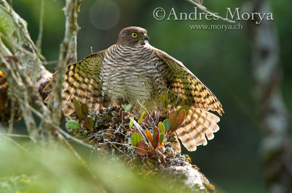 Madagascar Sparrowhawk (Accipiter madagascariensis), Andasibe-Mantadia National Park, Eastern-central Madagascar Image by Andres Morya