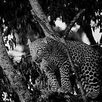 Sub-adult Male Leopard (Panthera pardus) on a tree, Masai Mara, KenyaSub-adult Male Leopard (Panthera pardus) on a tree, Masai Mara, Kenya