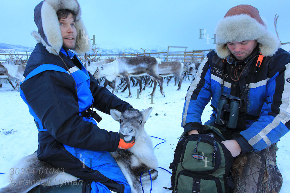 Cousins Johan Isak Oskal and Nils Ole Oskal prepare to fit reindeer with identification ear tag; Tromso, Norway.
