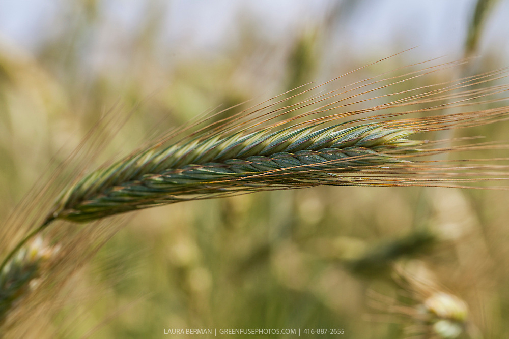 Rye grain (Secale cereale) is a grass grown extensively as a grain and as a forage crop. It is a member of the wheat tribe  and is closely related to barley  and wheat.