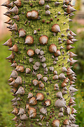 Thorns on the trunk of a silk floss tree in Oaxaca, Mexico.